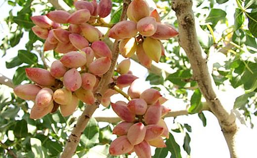 رتبه سوم استان یزد در تولید پسته در کشور +تصویر