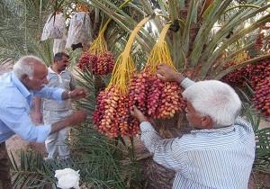 آغاز برداشت خرما از مزارع بافق