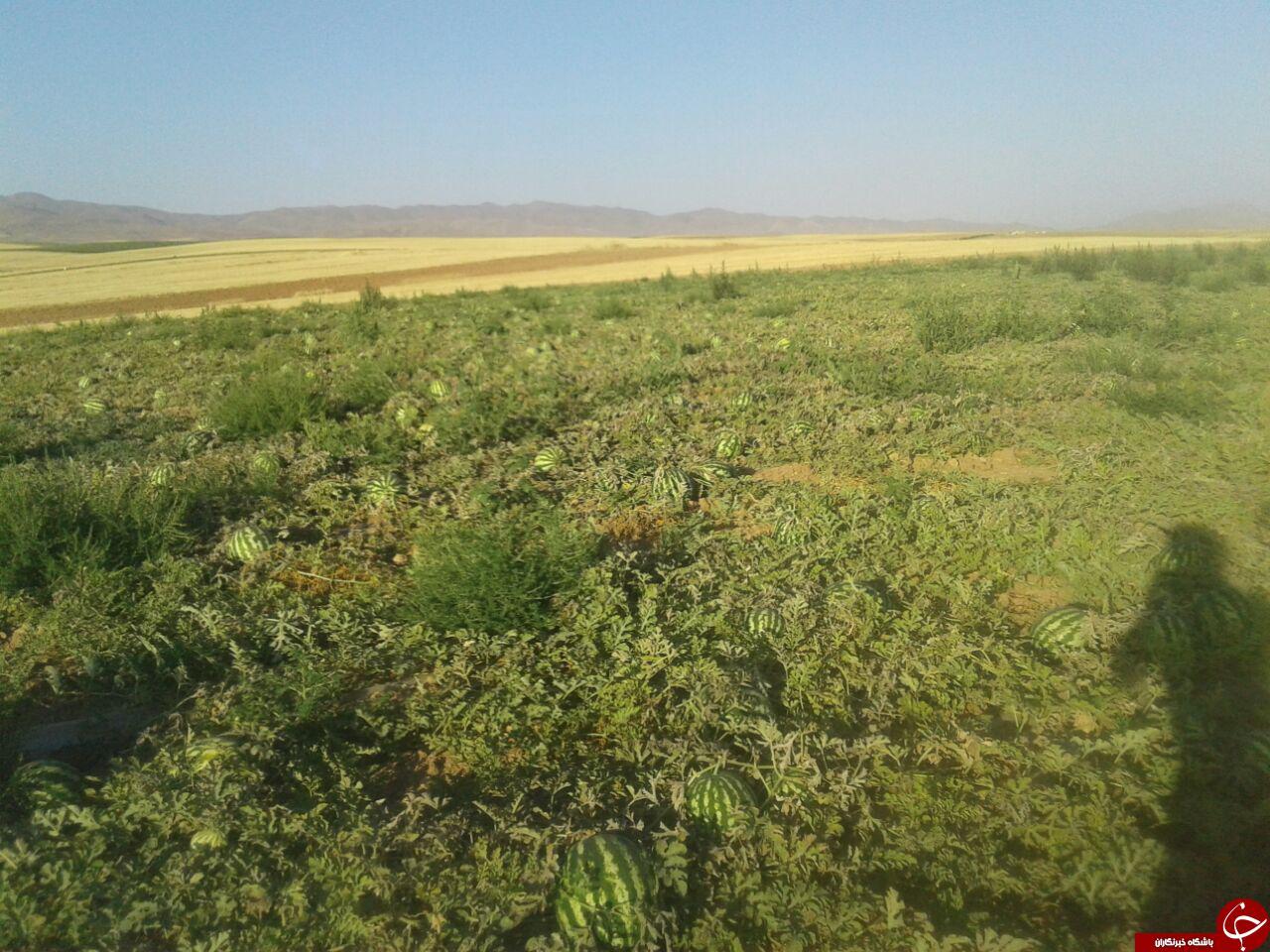 زمین کشاورزی هندوانه در «بهار» رها شد + تصاویر