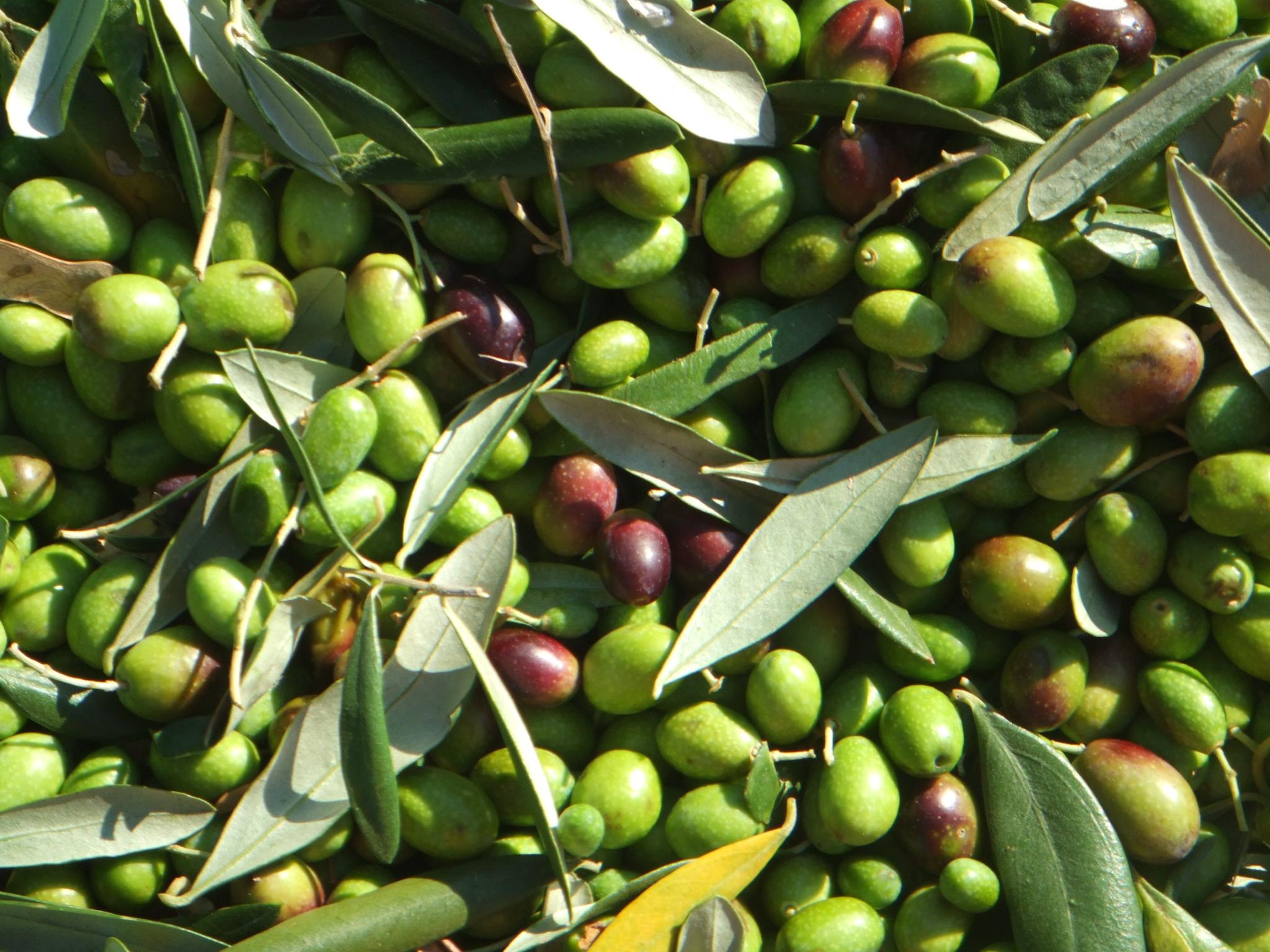 رتبه نخست زنجان در تولید زیتون کشور/جای خالی زیتون طارم در بازارهای جهانی