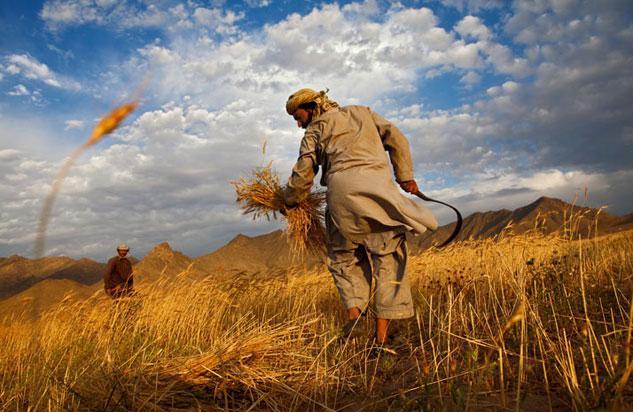 پرداخت مطالبات گندمکاران تا سال آینده ادامه دارد/ رفع نگرانی کشاورزان با عرضه گندم در بورس کالا