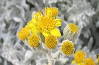 گیاهی برای مقابله با سرطان