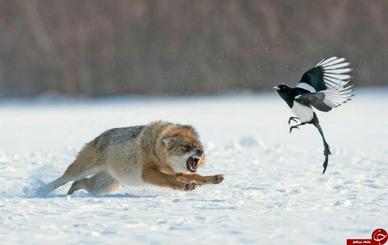 عکس منتخب نشنال جئوگرافیک از شغال عصبانی