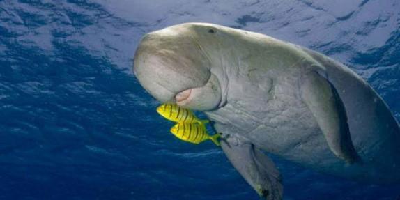باشگاه خبرنگاران -دوگونگها در ایران وضعیت مناسبی ندارند/ گاو دریایی تنها گونه پستاندار دریای عمان در حال انقراض است