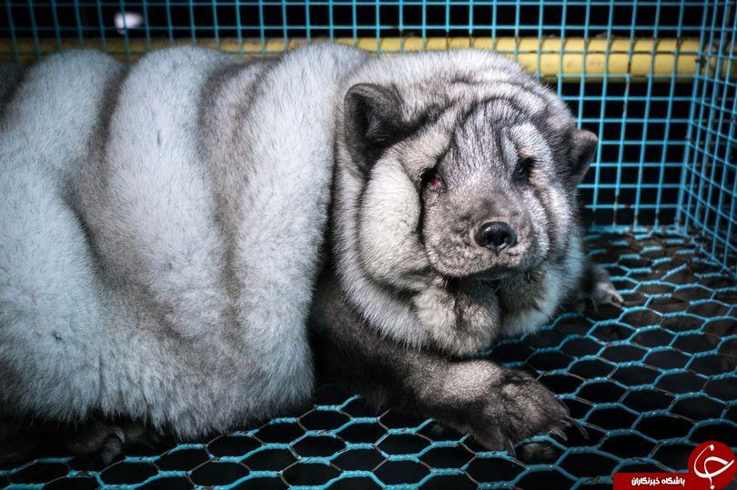روباهای زیبا، قربانیان جنایت هولناک صنعت خز + تصاویر