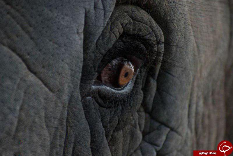 عکس برگزیده نشنال جئوگرافیک از نگاه نافذ یک فیل