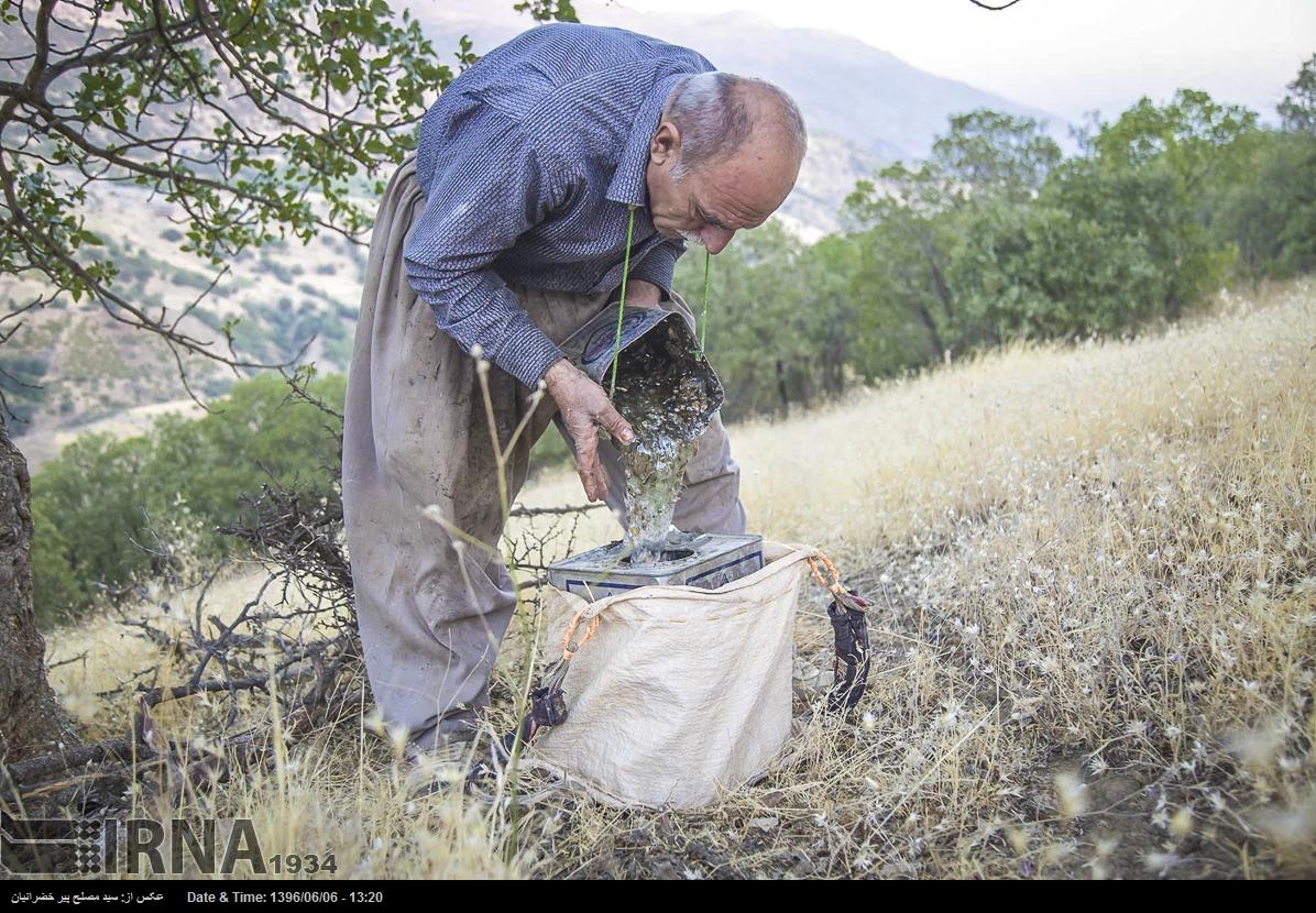 برداشت شیره «سقز» از درختان «بنه» در زاگرس+تصاویر