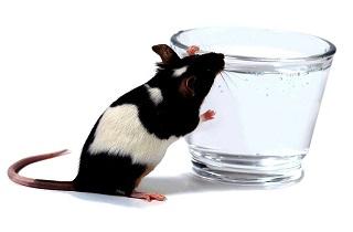 دانشمندان توانستند احساس تشنگی را در موشها مهار کنند