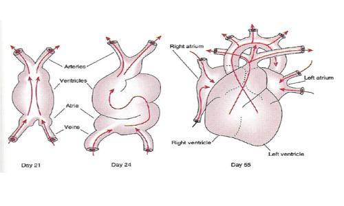 ویدئویی هیجانانگیز از اولین تپشهای قلب جنین انسان