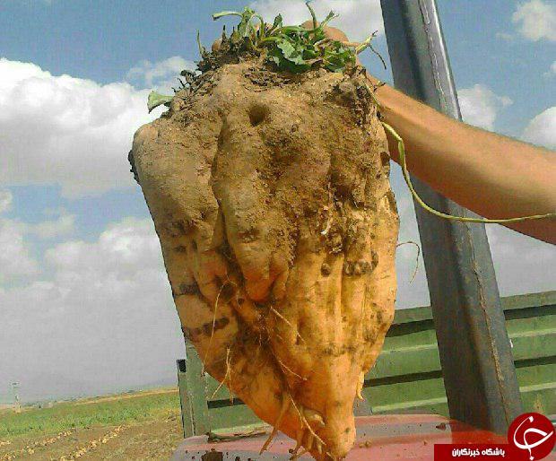 کشاورز نهاوندی چغندرقند 10 کیلوگرمی برداشت کرد
