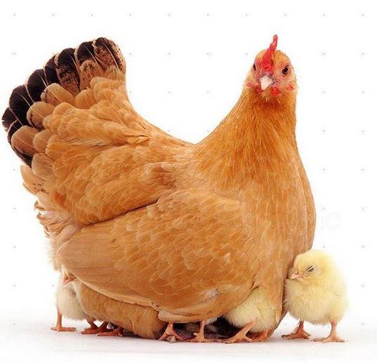 باشگاه خبرنگاران -آخرین قیمت مرغ و جوجه در بازار