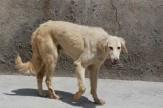 باشگاه خبرنگاران -وضعیت طرح جمعآوری سگهای ولگرد در بوشهر مشخص شود
