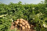 باشگاه خبرنگاران -آغاز برداشت سیب زمینی از مزارع شهرستان شهرکرد