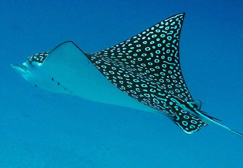 سفره ماهی خطرناک ترین گونه دریایی است/ جزیره کیش شاهد حضور رامکها