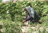باشگاه خبرنگاران -توسعه کاشت گیاهان دارویی در یزد نیامند توجه مسئولان/تولید سالانه 137 تن گیاه دارویی