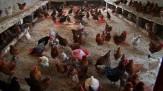 باشگاه خبرنگاران -هشدار به مرغداران آذربایجان شرقی درخصوص شیوع آنفلوانزا