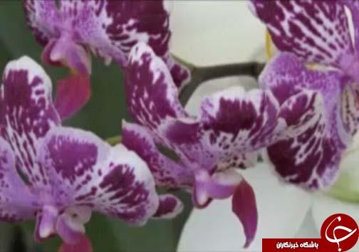 ارکیده، تجاریترین گلها