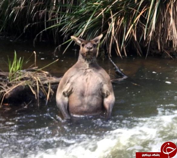 کانگوروی
