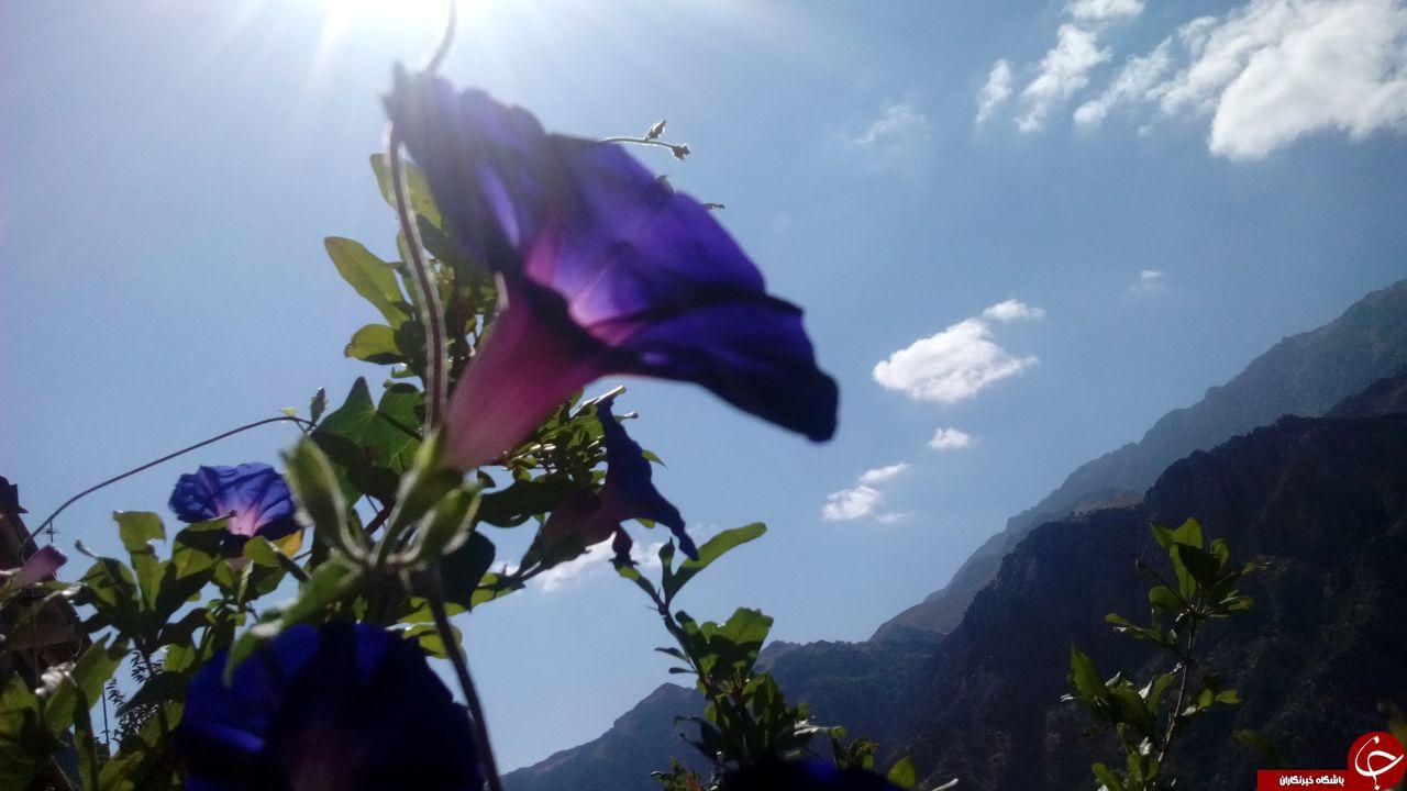 تصاویری چشم نواز از گل های نیلوفرآبی