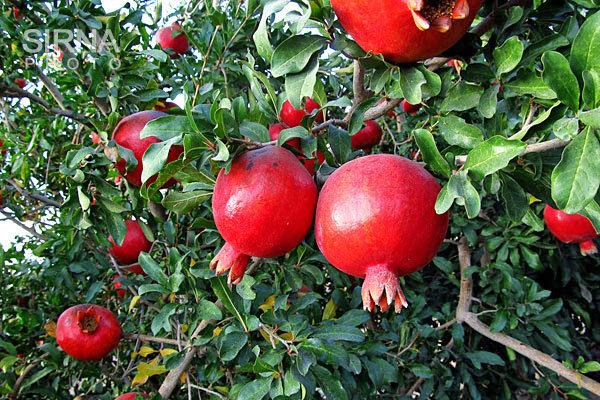 علت گرانی انار در این روزها چیست؟