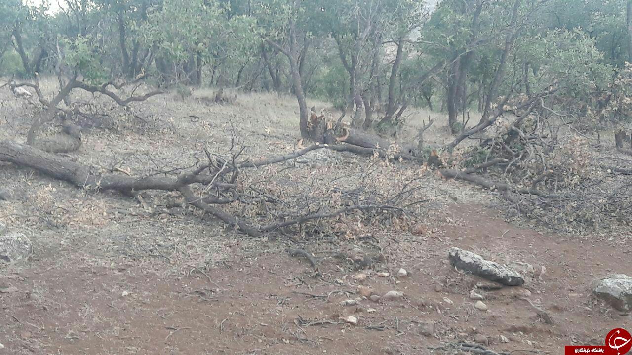 قطع درختان کهنسال بلوط در کوهدشت + عکس