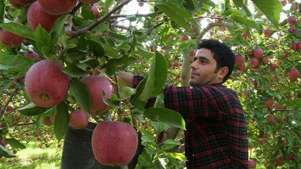 ثبت رکورد جدید تولید سیب در شهرستان مراغه