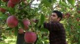باشگاه خبرنگاران -ثبت رکورد جدید تولید سیب در شهرستان مراغه