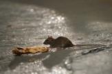 باشگاه خبرنگاران -موشهای گربهنما در پایتخت! + فیلم