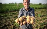 باشگاه خبرنگاران -صادرات 12 درصد سیب زمینی کشور