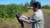 باشگاه خبرنگاران -رهاسازی یک قطعه عقاب تالابی در رودسر