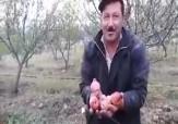 باشگاه خبرنگاران -وقتی باغداران مشگینشهر دست به تبر میشوند + فیلم
