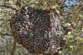 باشگاه خبرنگاران -گونه زنبور عسل ریز استان بوشهر در خطر کاهش جمعیت است