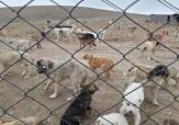 باشگاه خبرنگاران -کشتار سگها در بوکان شیکتر، فجیع تر و زجرآورتر از گذشته