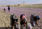 باشگاه خبرنگاران - پیش بینی برداشت 896 تن گل زعفران در فاروج