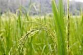 باشگاه خبرنگاران -آغاز برداشت برنج از شالیزارهای آبدانان