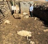 باشگاه خبرنگاران -تلف شدن ۱۰ راس گوسفند بر اثر حمله گرگها در شهربابک