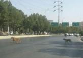 باشگاه خبرنگاران -پرسه سگهای ولگرد در کوچه و خیابانهای اهواز + تصاویر