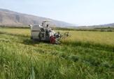 باشگاه خبرنگاران -پیش بینی برداشت ۶۰ هزار تن برنج از مزارع مرودشت