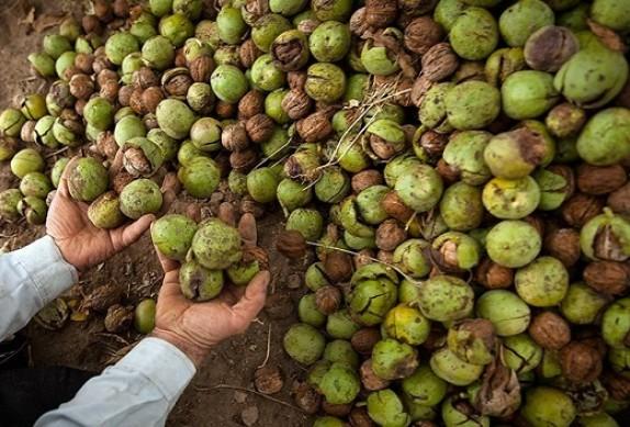 باشگاه خبرنگاران -پیش بینی برداشت هزار و ۶۰۰ تن گردو از باغات شازند
