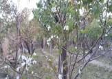باشگاه خبرنگاران - شکوفایی درخت گوجه سبز در خمینیشهر + فیلم