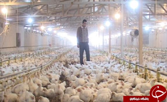 باشگاه خبرنگاران -کارآفرین برتر تولید مرغ گوشتی در لرستان/ استفاده از نیروهای متخصص مهمترین دلیل موفقیت کارآفرین نمونه+ تصاویر