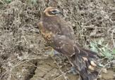 باشگاه خبرنگاران -رهاسازی یک بهله پرنده شکاری سنقر در شهرستان پارس آباد