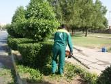باشگاه خبرنگاران - لزوم هرس درختان کنوکارپوس مسیرهای سفر اربعین در خوزستان