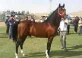 باشگاه خبرنگاران -برگزار چهارمین دوره مسابقات استقامت اسب استان درمیبد