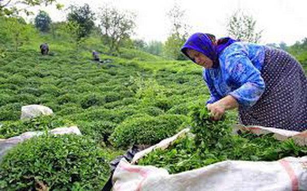 پرداخت 67 درصد مطالبات چایکاران/ تولید برگ سبز چای به 105 هزارتن می رسد
