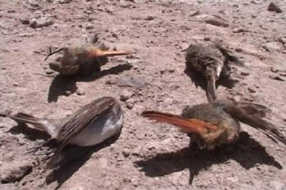باشگاه خبرنگاران - تلف شدن پرندگان در سلماس