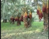 باشگاه خبرنگاران -۲۳۰  هزار تن خرما از نخلستانهای سیستان و بلوچستان برداشت شد