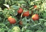 باشگاه خبرنگاران -مبارزه بیولوژیک علیه آفات در مزارع گوجه فرنگی