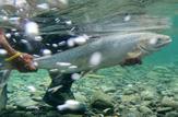 باشگاه خبرنگاران -خروج ماهی آزاد دریای خزر از فهرست انقراض