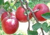 باشگاه خبرنگاران -آغاز خرید سیب از باغداران فارس